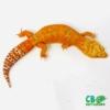 Tqngelo leopard geckos