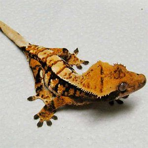 tiger pinstripe crested gecko