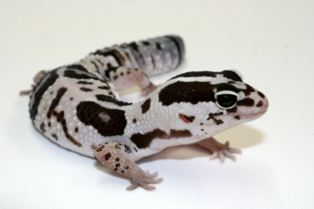white out fat tail gecko