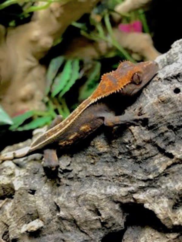 Halloween Tiger Pinstripe Crested Gecko For Sale Online