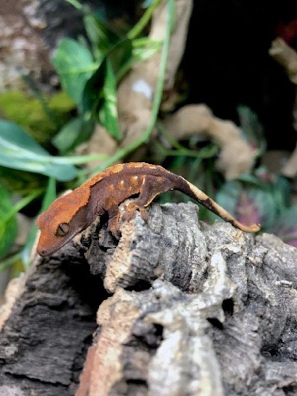 Halloween Tiger Pinstripe Crested Gecko For Sale Online