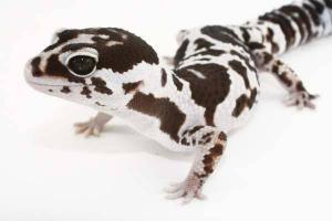 African Fat Tailed gecko morphs