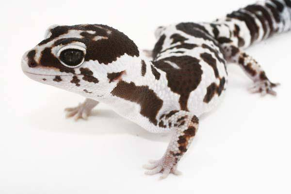 African Fat Tailed Gecko Morphs For Sale Fat Tail Gecko