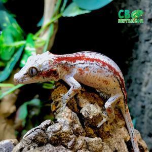gargoyle gecko breeders