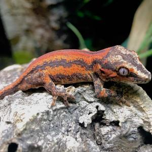 gargoyle gecko color morphs