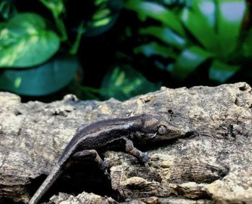 baby gargoyle geckos for sale