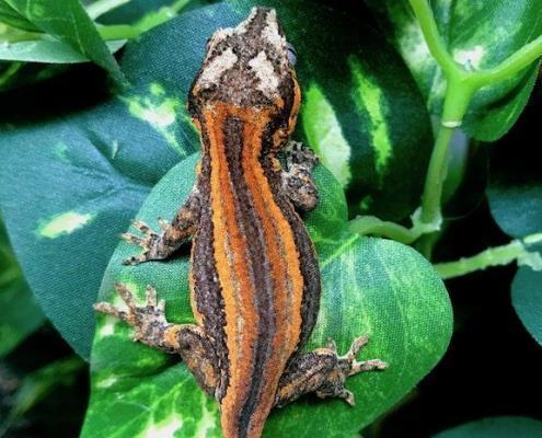 best gargoyle gecko breeders