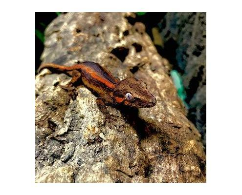 gargoyle gecko morphs for sale
