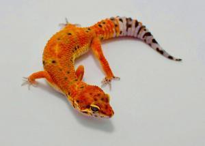 leopard gecko morphs for sale