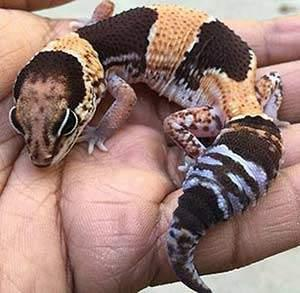 African Fat Tail Geckos