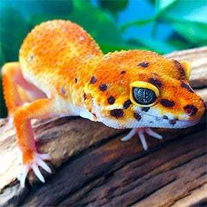 baby geckos for sale