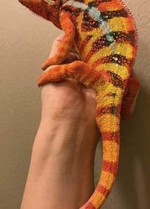 baby panther chameleon