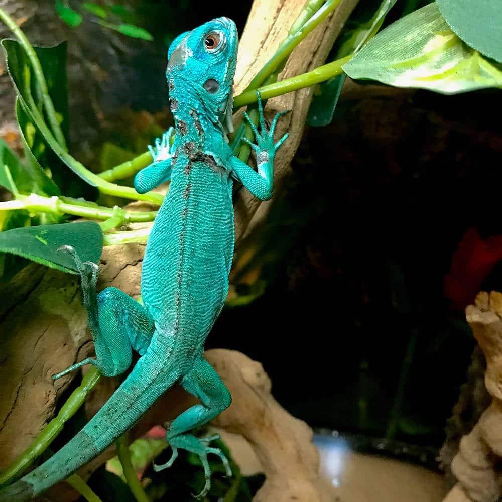 Blue Iguana For Sale Online