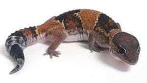 fat tail gecko breeder