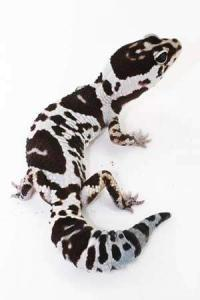 fat tail geckos