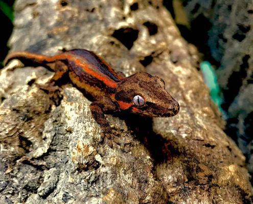 gargoyle gecko morphs for sale