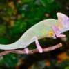 piebald veiled chameleon
