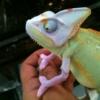 piebald veiled chameleon breeder