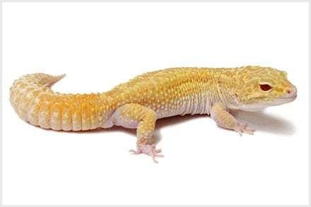Raptor Leopard gecko for sale