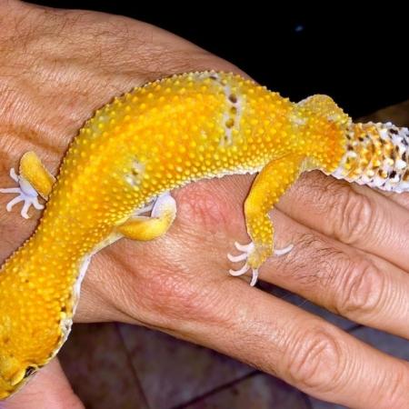 electric tangerine leopard gecko