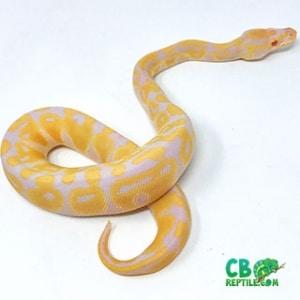 Albino ball python for sale