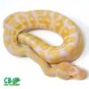 Albino ball python morphs
