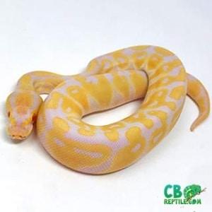 albino ball pythons