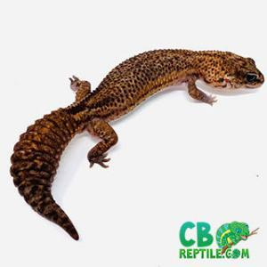 baby African fat tail gecko