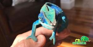 baby ambanja panther chameleon