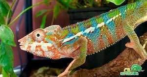baby chameleon for sale