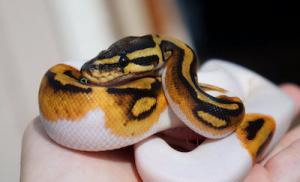 baby piebald ball python for sale