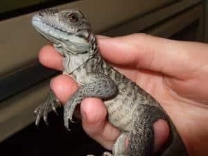 baby rhino iguana