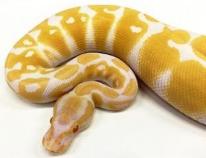 ball python for sale near me