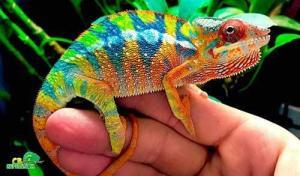 best panther chameleon breeders