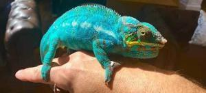 chameleon for sale