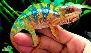 chameleon for sale near me