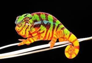 chameleon store