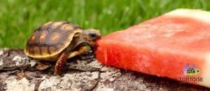 cherry head red foot tortoises for sale