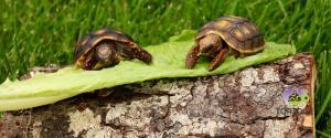 cherry head redfoot tortoise for sale