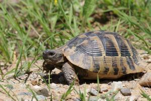 eastern hermann's tortoise for sale online