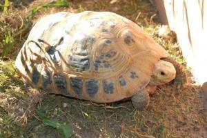 elongated tortoises for sale
