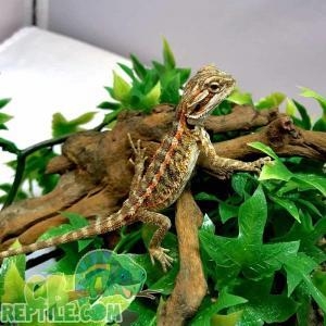 fancy bearded dragon