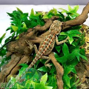 fancy bearded dragon for sale