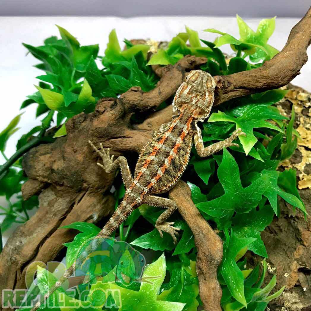 What Makes An Albino Bearded Dragon Special White Bearded Dragon