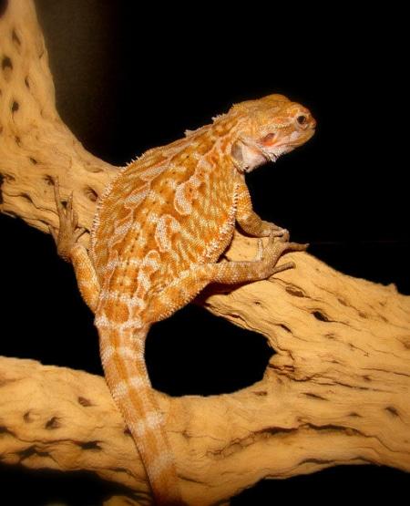 fancy bearded dragon for sale