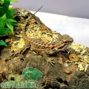fancy bearded dragons for sale