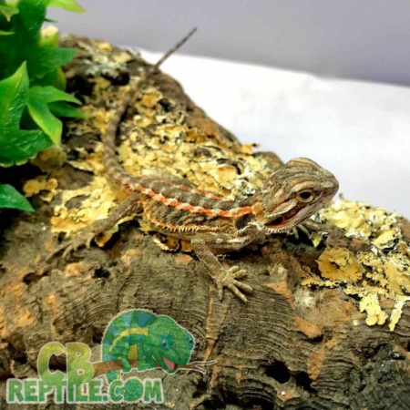 Bearded dragon for sale | baby bearded dragons for sale online near me