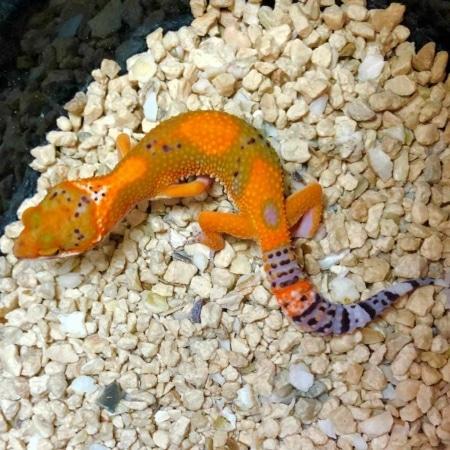 firewater blood leopard gecko