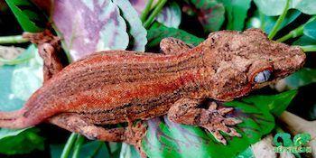 gargoyle gecko for sale online