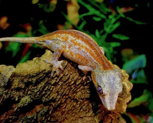 gargoyle gecko for sale near me